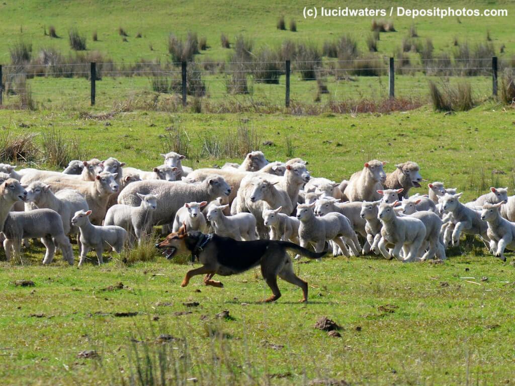 Ein Schäferhund rennt an Schafherde entlang