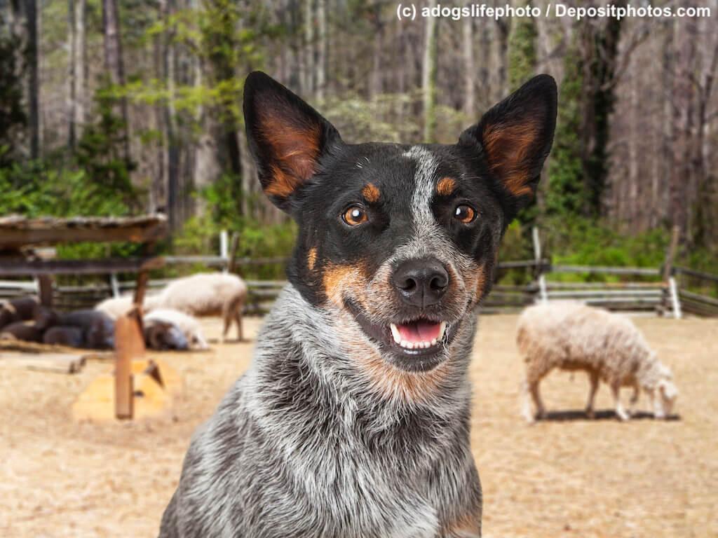 Australian Cattle Dog Nahaufnahme mit Schafen im Hintergrund vor Wald