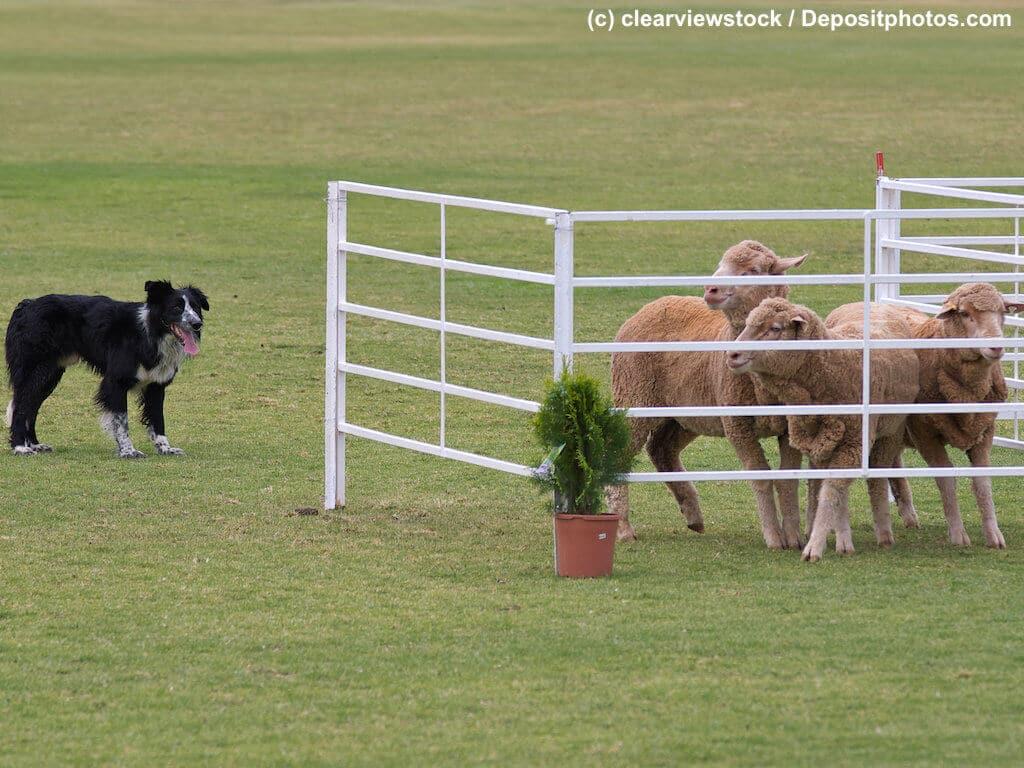 Ein Border Collie bewacht drei Schafe in offenem Gatter