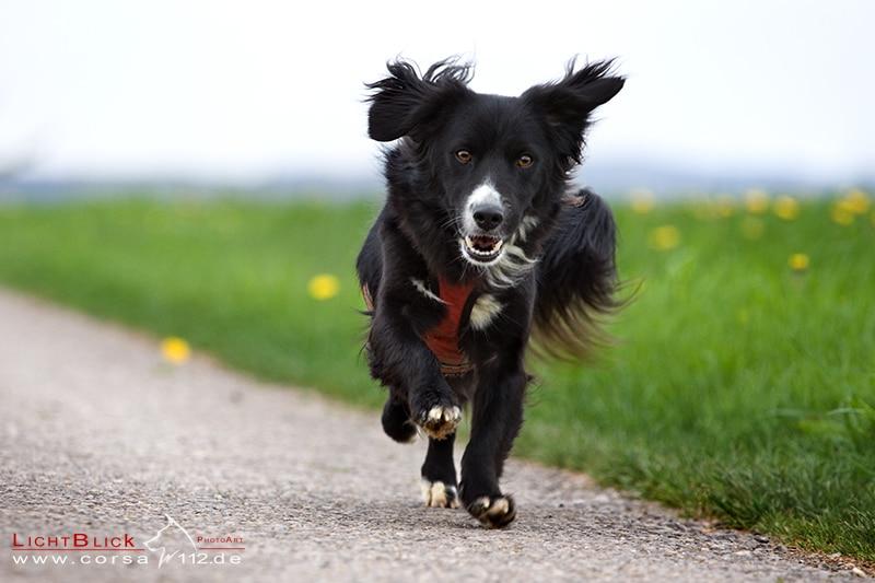 Hund mit Behinderung läuft fröhlich über Feldweg