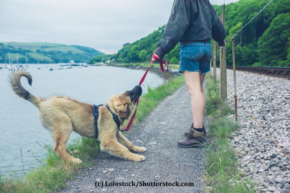 Ein Hund beißt in seine Leine und zieht rückwärts