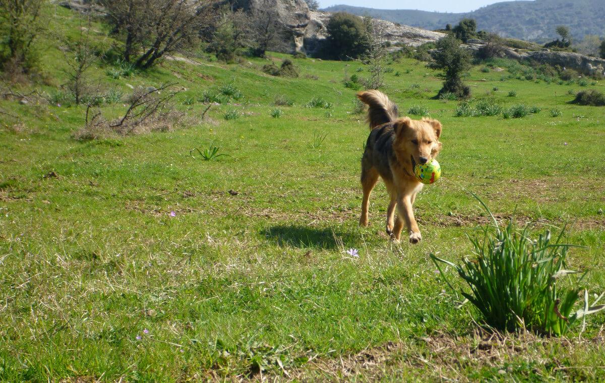 Mischlingshund trägt Ball im Maul auf einer Wiese