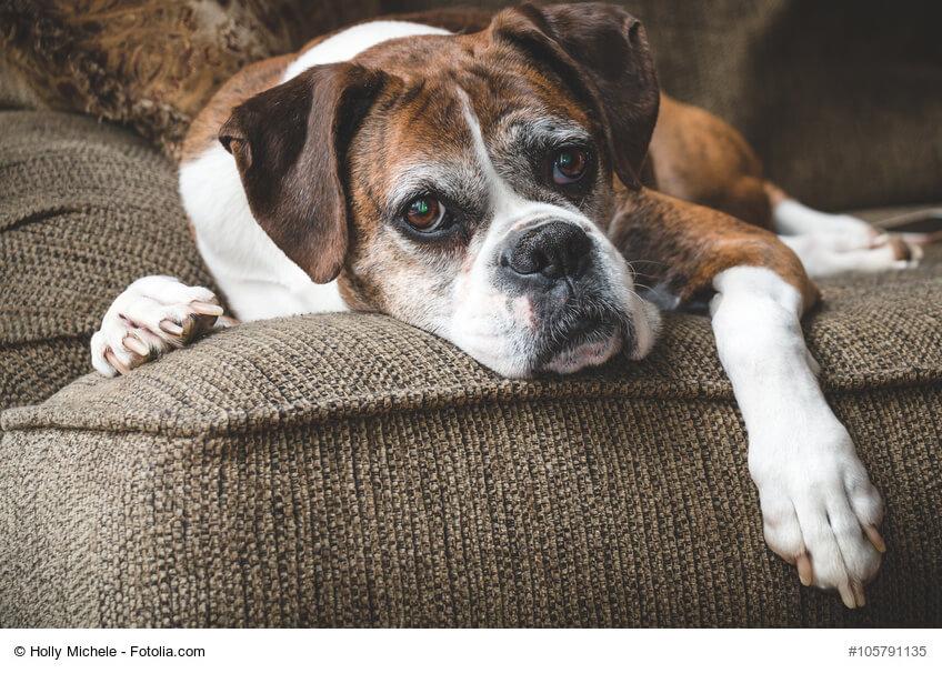 Boxer liegt gemütlich auf dem Sofa