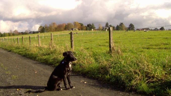 Schwarzer Mischlingshund sitzt auf einem Feldweg vor einer Kuhwiese
