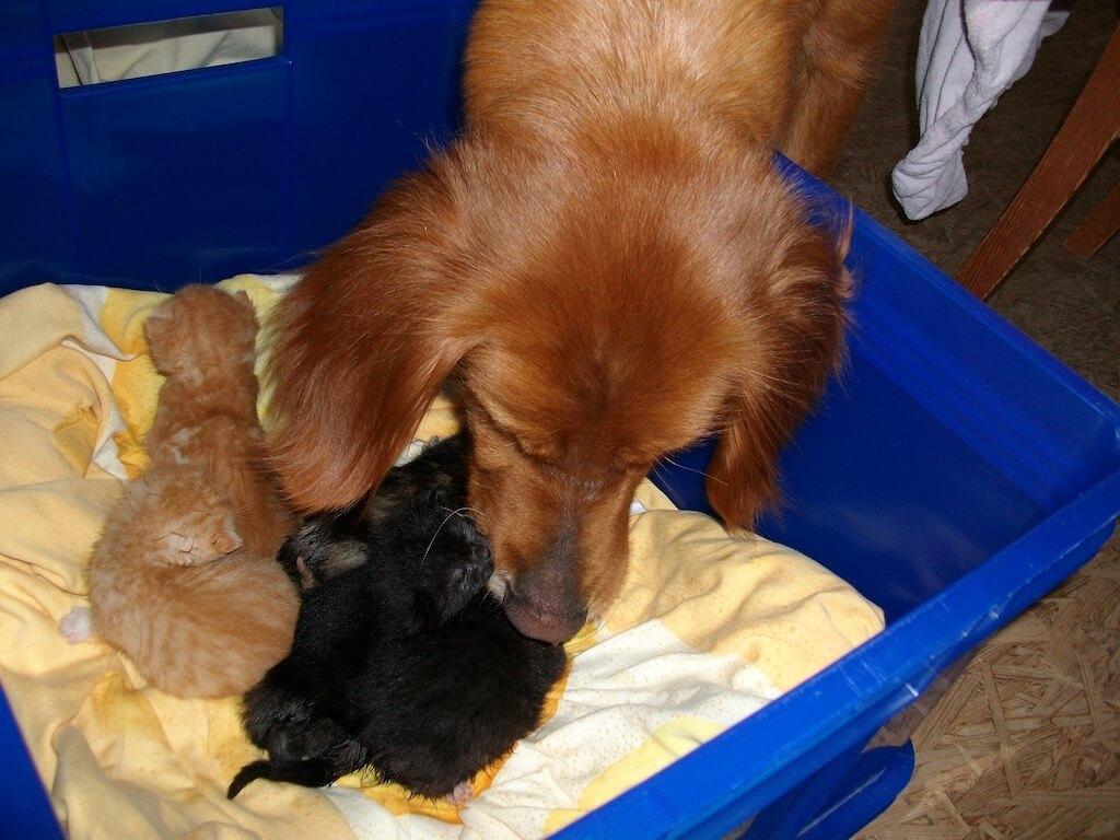 Hündin schenkt Katzenbabys Wärme und Pflege