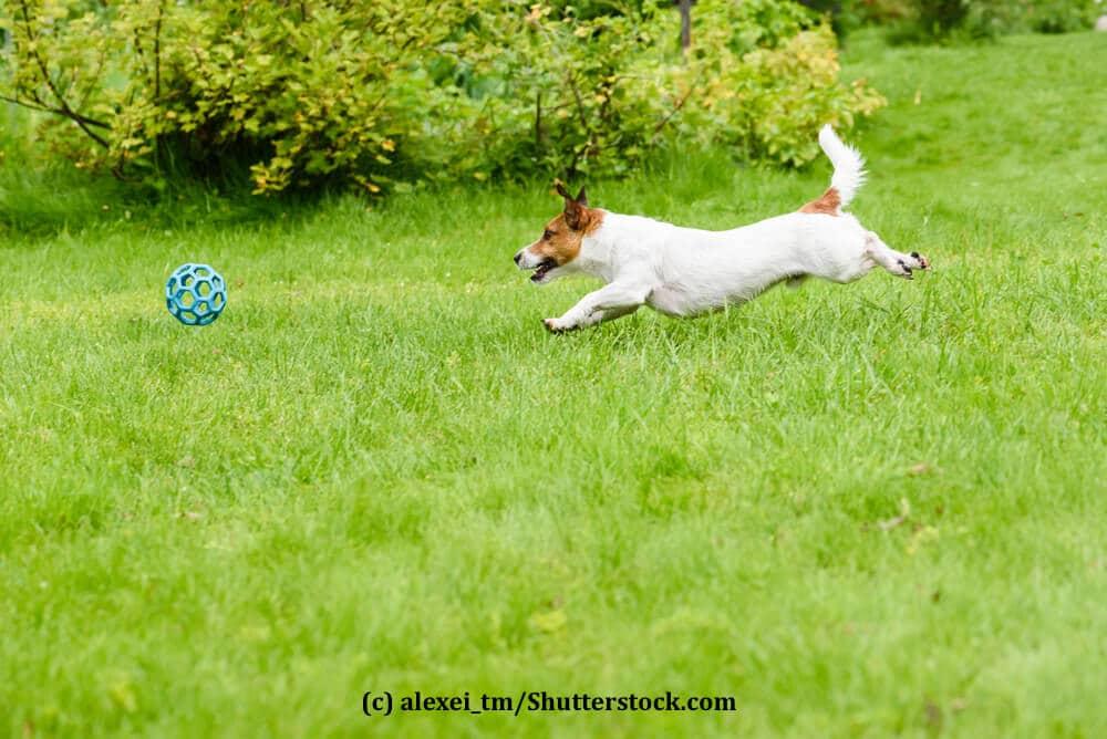 Ein Hund rennt ohne Leine hinter seinem Ball her