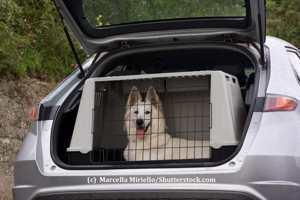 Ein weißer Schäferhund liegt aufmerksam in einer Transportbox in einem Kofferraum
