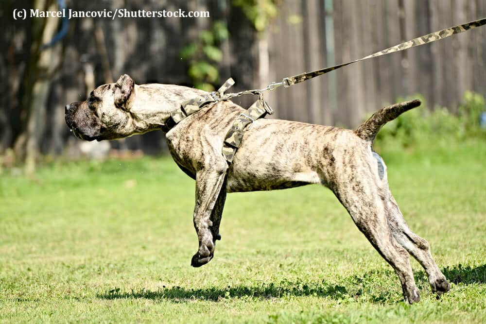 Ein Hund zieht an seiner Leine, so dass er mit den Vorderpfoten vom Boden abhebt