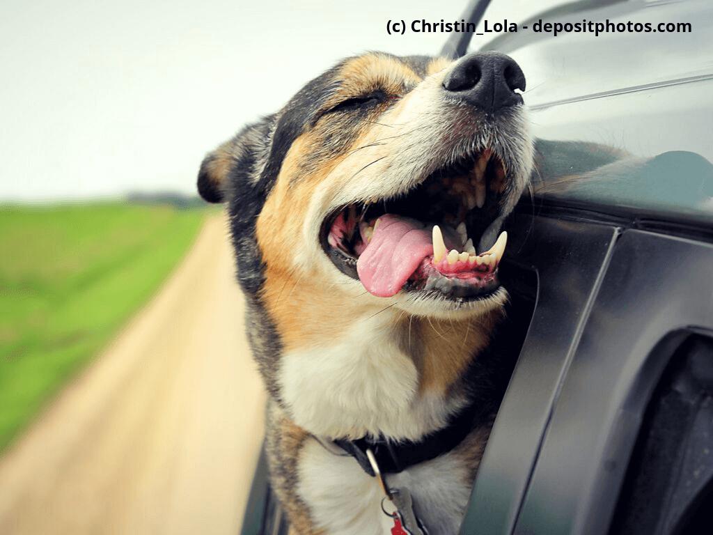 Hund streckt Kopf aus dem Autofenster