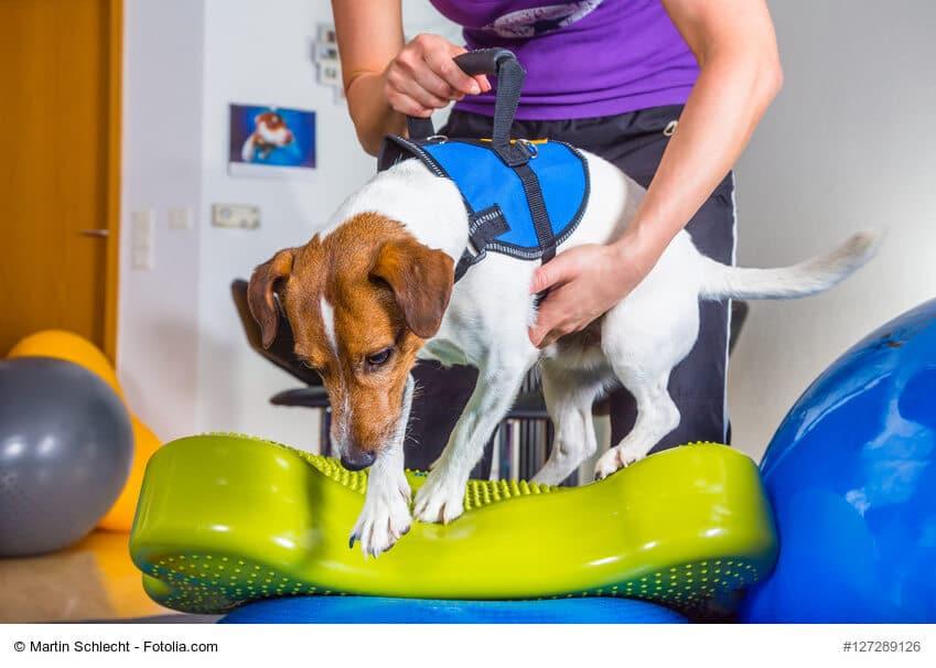 Jack Russel Terrier während der Therapie auf unebenem Untergrund
