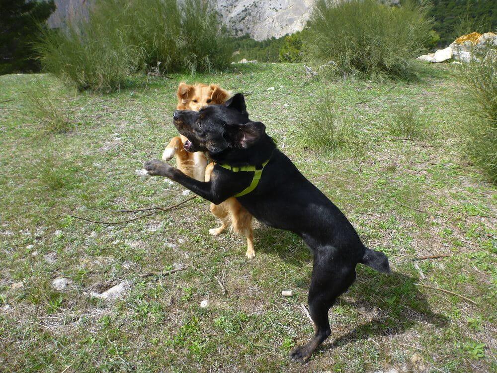 Hellbrauner und dunkelbrauner Mischlingshund beim Spielen
