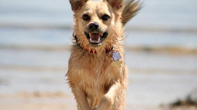 Hundesteuer - Hund mit gut sichtbarer Steuermarke am Halsband
