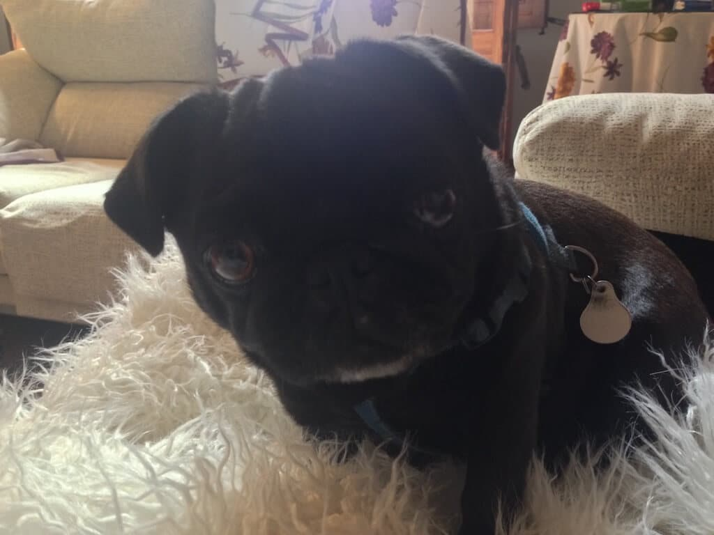 Ein Mops liegt auf einer Hundedecke aus Lammfellimitat.