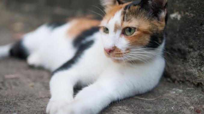 Eine Tricolor Katze Hybridrasse liegt auf der Seite