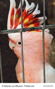 Porträt eines Braunkopfrabenkakadu im Käfig mit imposanter Krone, aus strahlend rotem und gelben Gefieder.