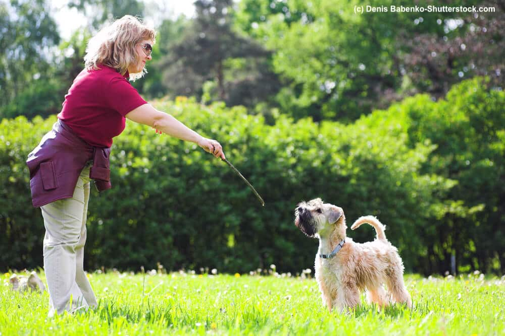 Irish Soft Coated Wheaten Terrier im Training