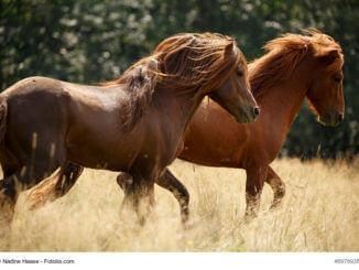 eine wirklich einzigartig lund wilde Pony Rasse- Islandponys