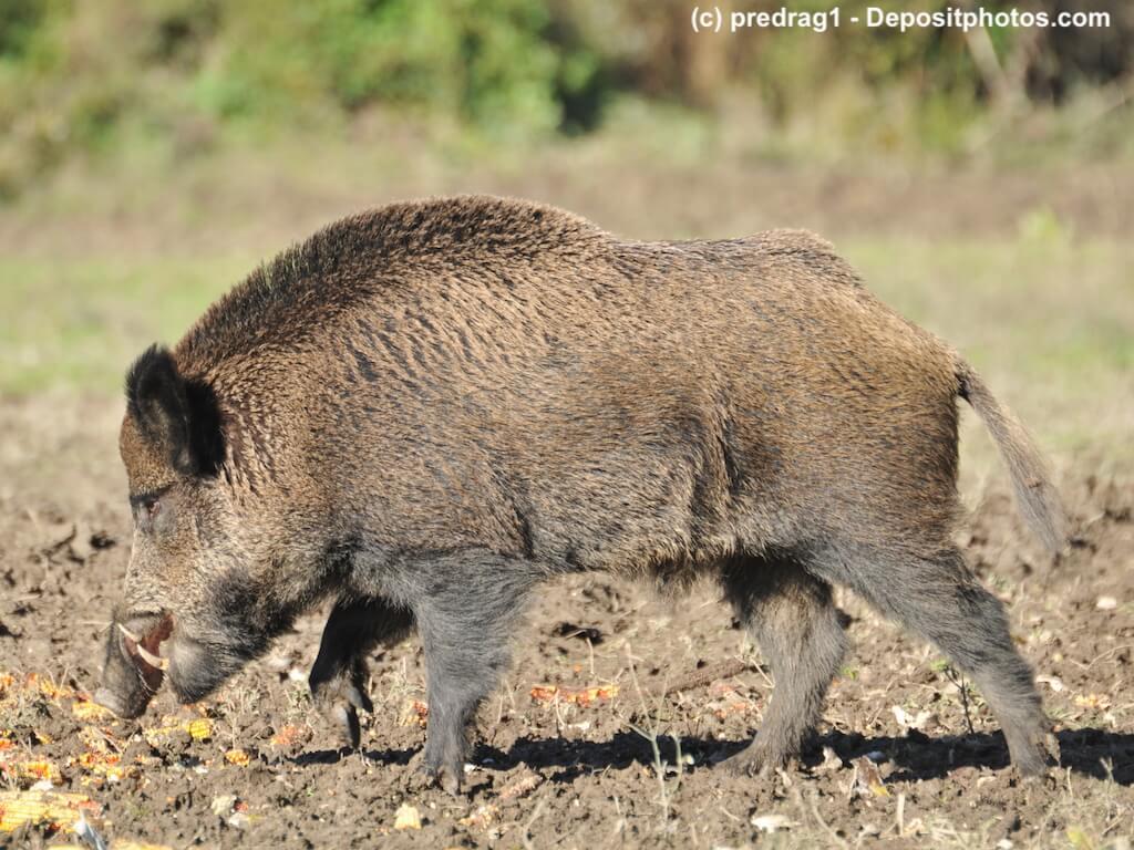 Ein Wildschwein schnüffelt am Boden von der Seite fotografiert