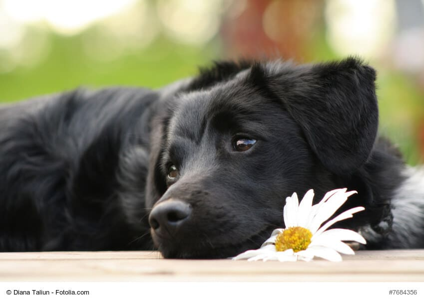 Dunkler Junghund liegend