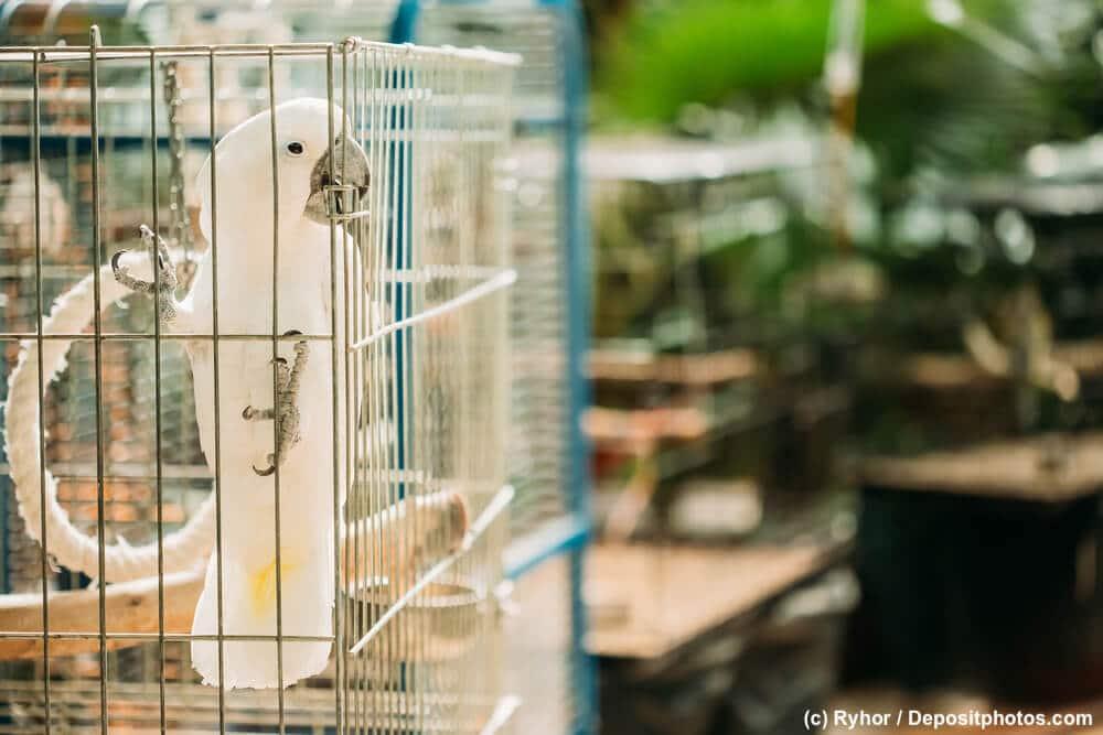 Weißer Kakadu klettert an der Seite seines Käfigs