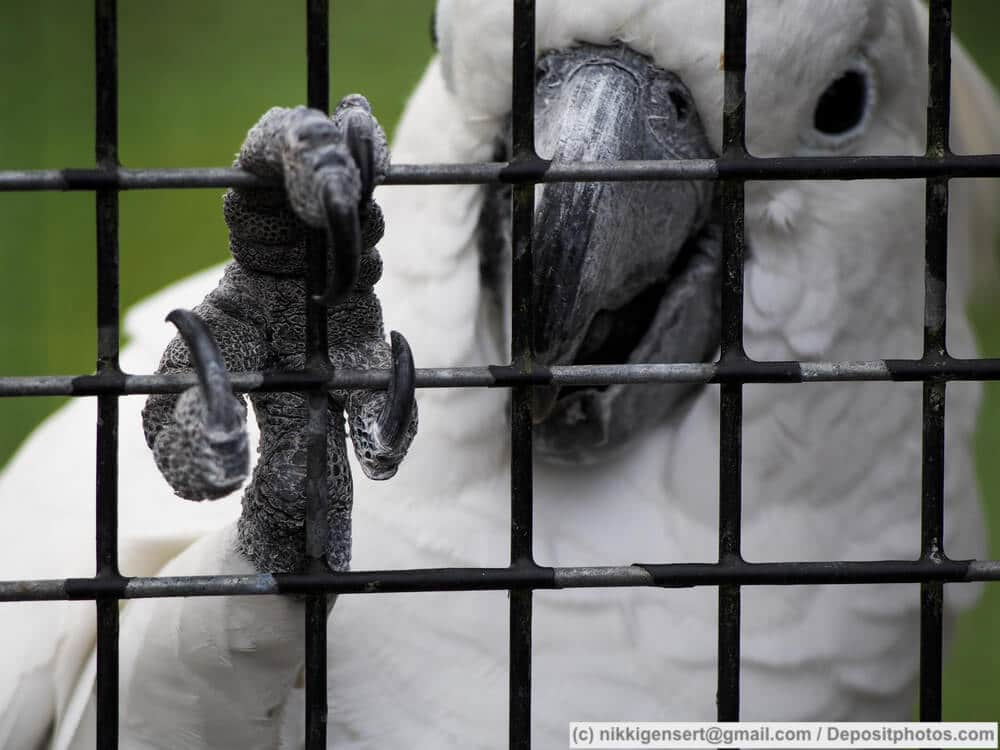 Ein Kakadu greift mit seinem Papageienfuß um das Gitter seines Käfigs.