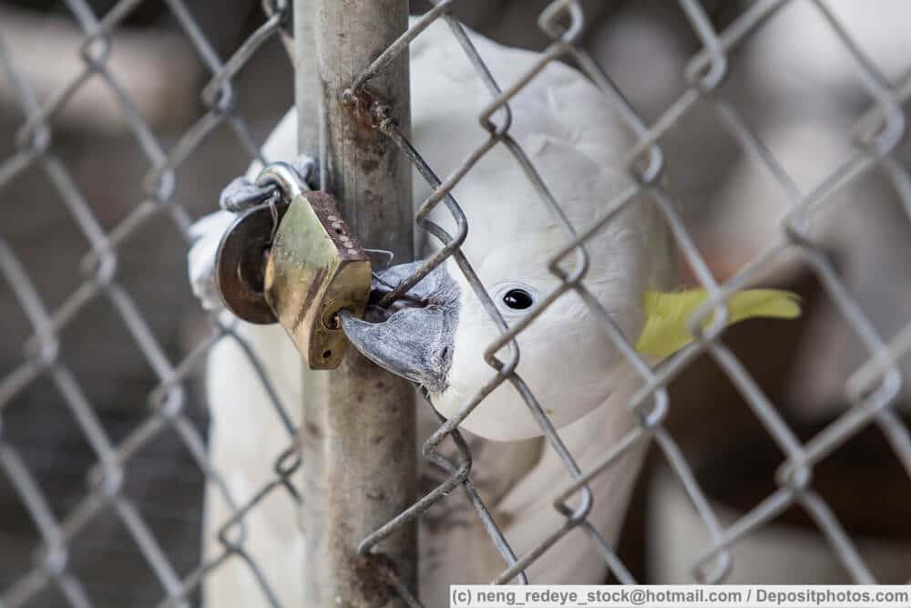 Weißer Kakadu sitzt in einem Käfig und beißt in das Schloss
