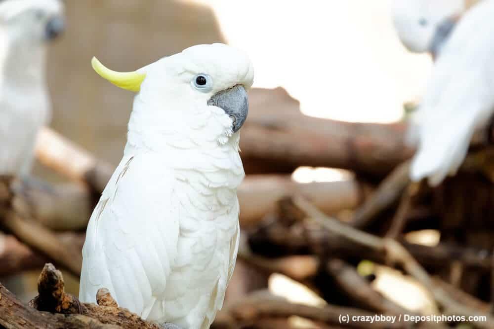 Portrait eines Kakadu auf einem Ast mit typischem Papageienschnabel