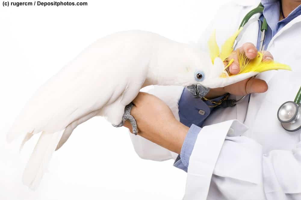 Ein Kakadu sitzt auf der Hand eines Tierarztes vor weißem Hintergrund