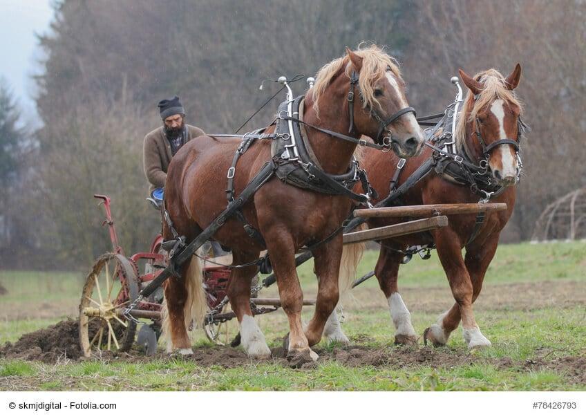 Die perfekten Arbeitspferde, Kaltblüter