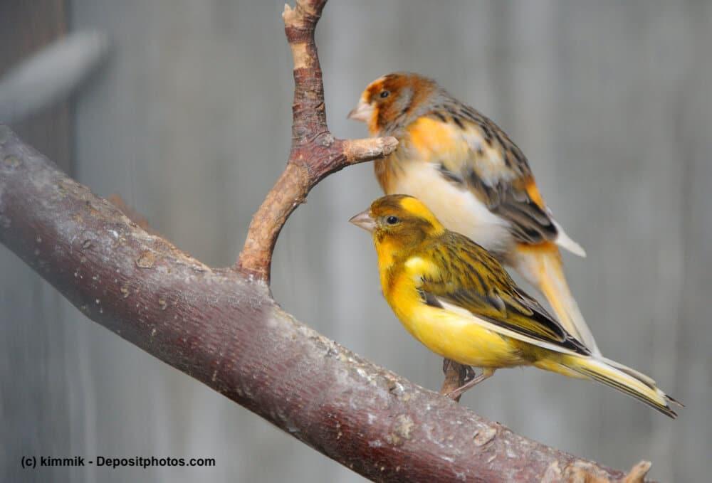 Zwei Kanarienvögel sitzen in einer Voliere auf einem Ast