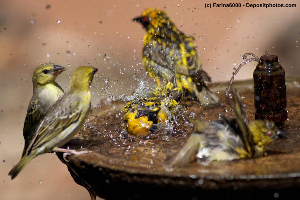 Vögel baden und plantschen in einer Schale