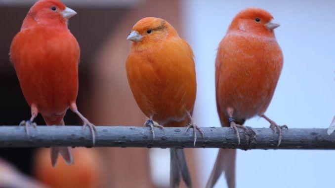 Drei orange-rote Kanarienvögel sitzen auf einer Stange