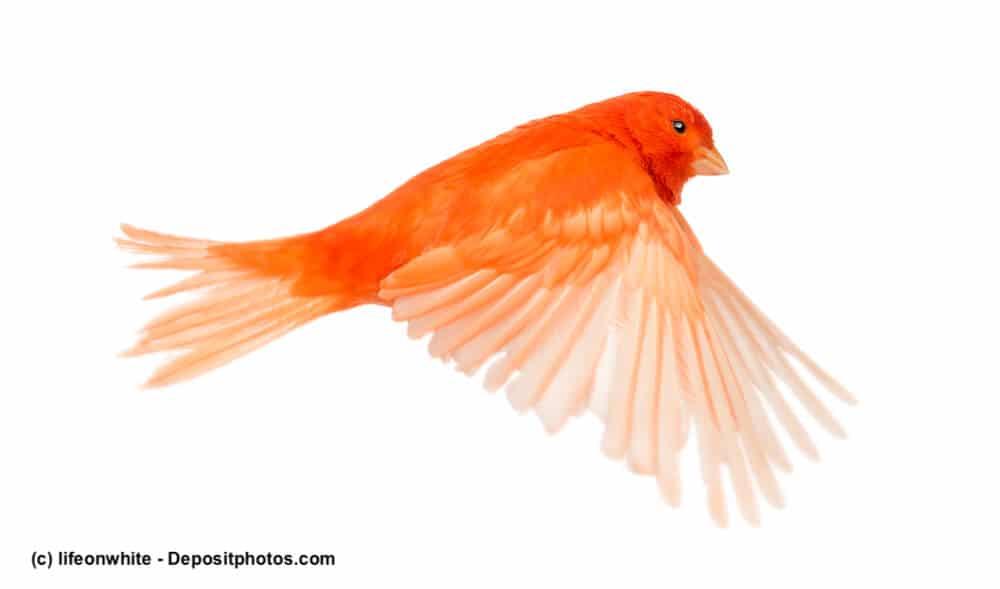 Roter Kanarienvogel fliegt vor weißem Hintergrund