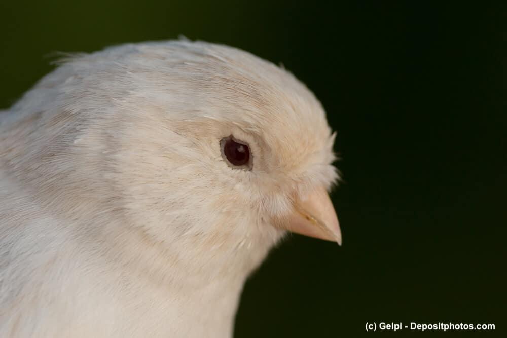 Portrait eines weißen Kanarienvogels