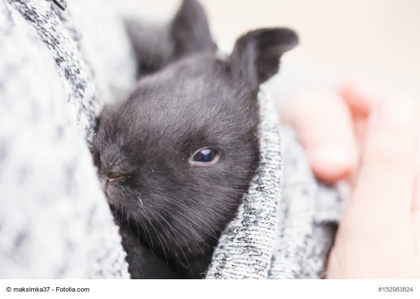 Kleines, schwarzes, junges Kaninchen in raue Decke eingekuschelt