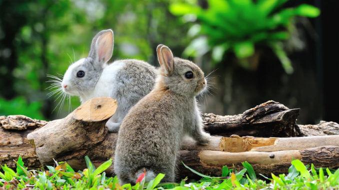 Kaninchen Haltung - Zwei Kaninchen hüpfen über einen alten Ast