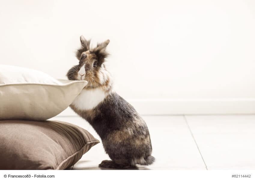 Strubbeliges mehrfarbiges Kaninchen schaut hinter einem Kissenstapel hervor.