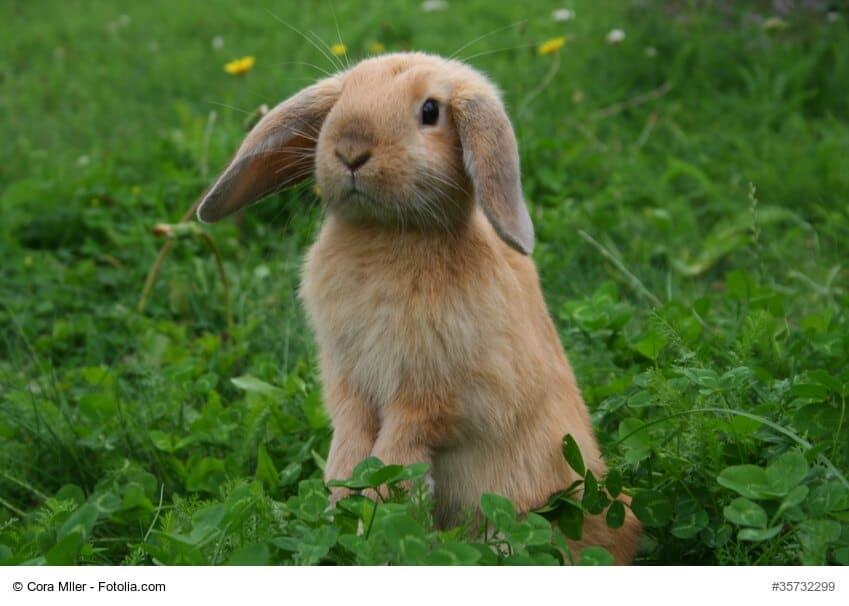 Braunes Kaninchen mit laden, hängenden Ohren auf frischer, grüner Wiese
