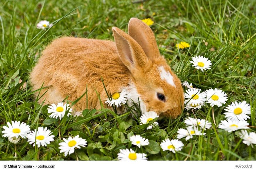 Kleines, braun weißes Kaninchen hockt zwischen Gänseblümchen