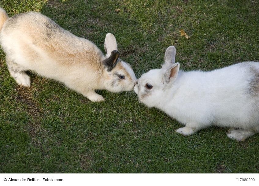 Zwei Kaninchen, eines weiß und eines braun, beschnuppern sich auf einer Wiese