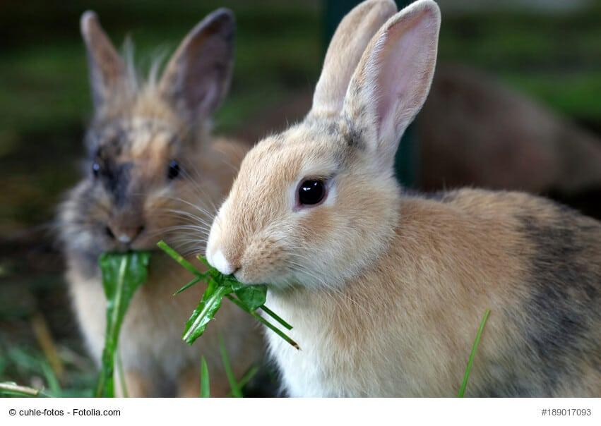 Zwei Kaninchen mümmeln frisches Grünfutter