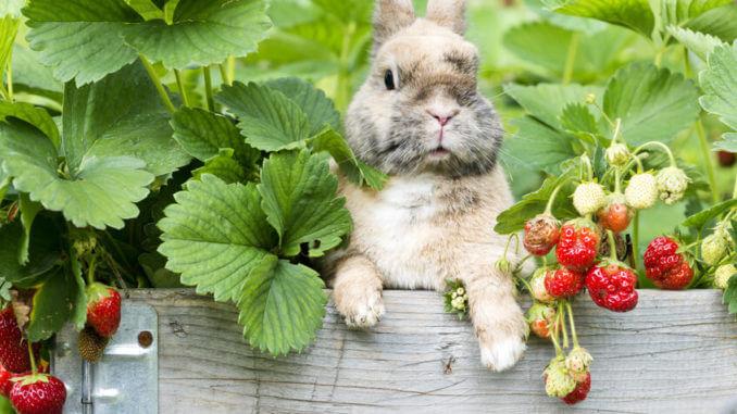 Kaninchenfutter - Kaninchen im Erdbeerbeet