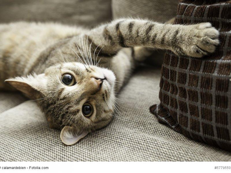Europäisch Kurzhaar ist eine anerkannte Katzenrasse