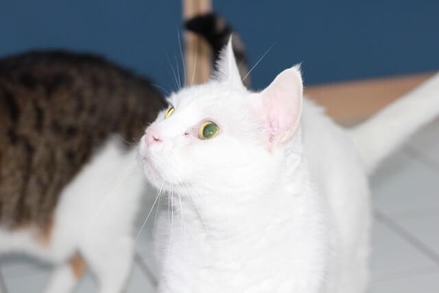weiße Katze schaut aufmerksam nach oben