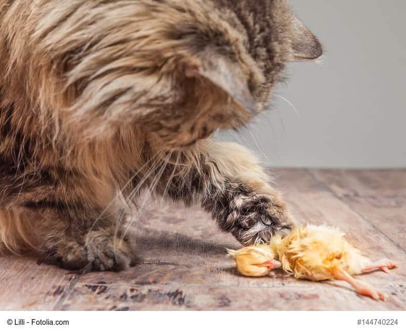Eine Katze frisst ein Küken als Futtertier beim Barfen