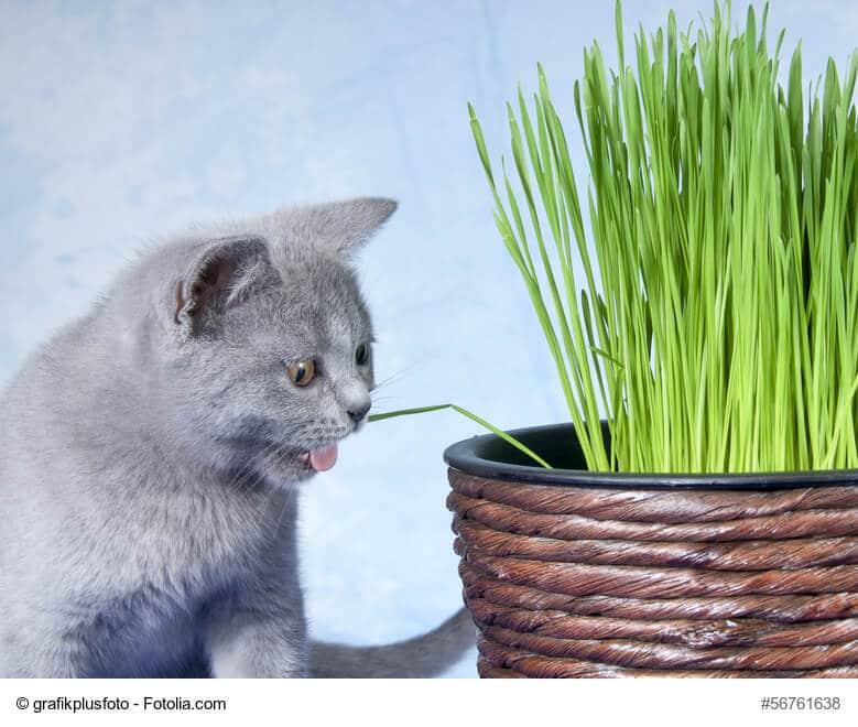 Katzengras für die Verdauung eurer Katzen