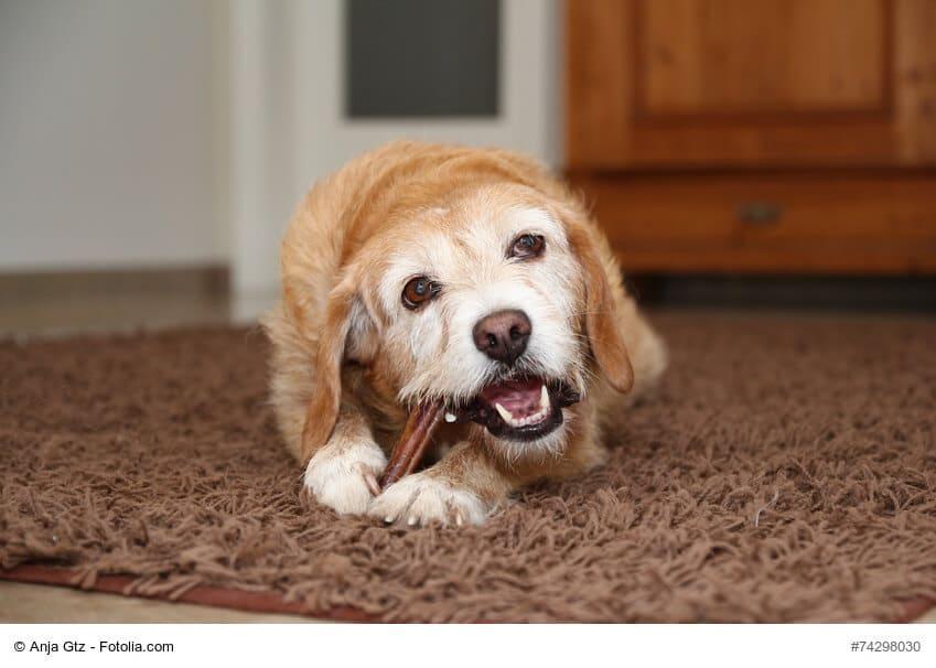 Hund mit Zahnpflege Kaustange zwischen den Pfoten