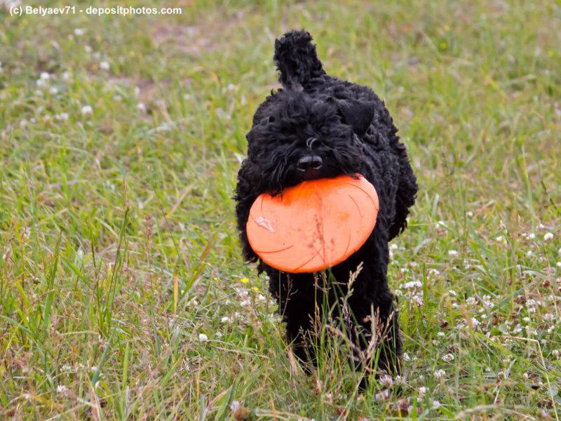 Kerry Blue Terrier mit Frisbee