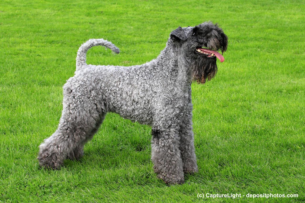 Kerry (Irish) Blue Terrier Steckbrief
