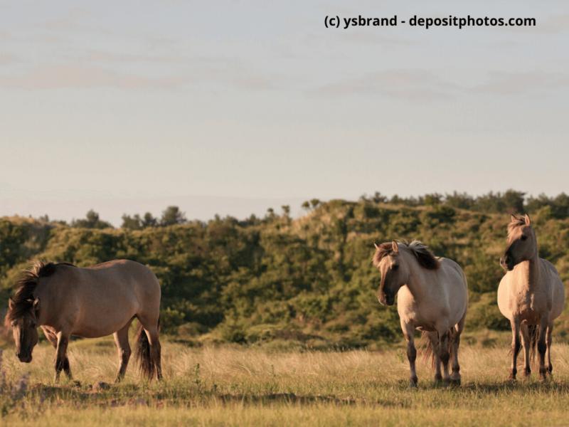 Konik Gruppe von Wildpferden in Grasdünenlandschaft